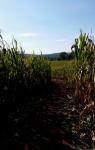 Temple Hall Farm - Corn Maize